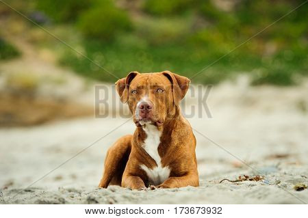 American Pit Bull Terrier dog lying on sandy beach with greenery in background