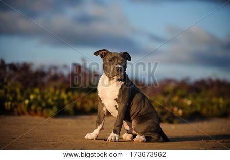 American Pit Bull Terrier puppy dog outdoors sitting by flower field
