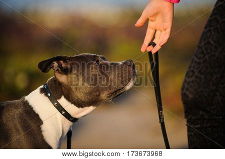 American Pit Bull Terrier dog looking at owners hand with leash