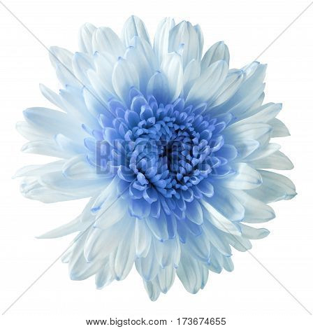 white-blue flower chrysanthemum garden flower white isolated background with clipping path. Closeup. no shadows. blue centre. Nature.