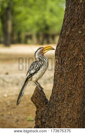 yellow billed hornbill standing on a trunk in Kruger national park, South Africa