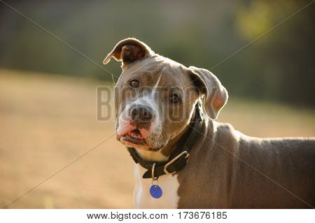 American Pit Bull Terrier dog head shot with collar and blue tag