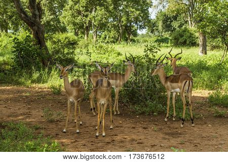 group of impalas in the bush in Kruger national park, South Africa