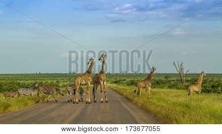 herd of wild giraffes and zebras crossing the road in Kruger National park, South Africa