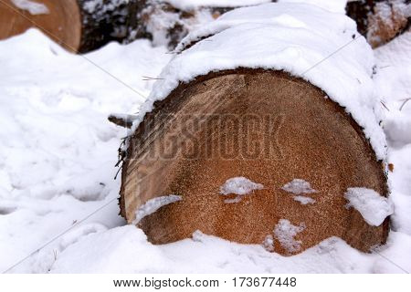Cut felled pine trees in the snowy winter forest. Deforestation.