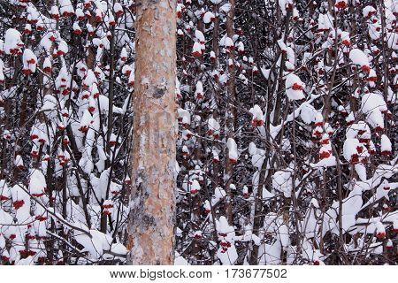 Snowbound branches of ashberry and large pine.In beautiful winter forest.
