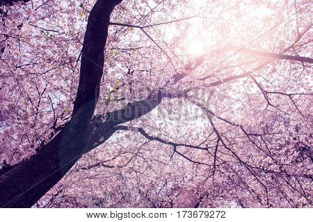 Under a magnificent cherry blossom of an old somei yoshino cherry tree. With sun ray and lens flare. Intentionally shot in retro impressional color.