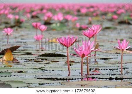 pink lotus in the pond or red lotus sea at udon thani province
