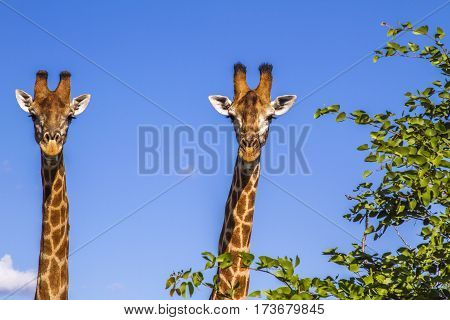 two giraffes wild in blue background in Kruger Park