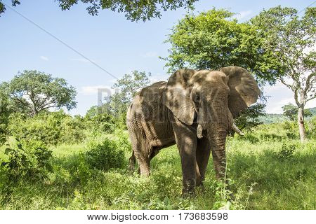 african bush elephant in its habitat in Kruger park, South Africa