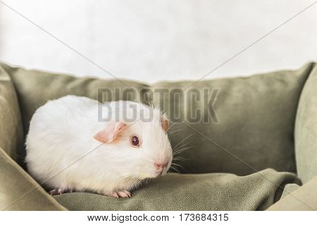 White guinea pig on the couch. This photo pet home.