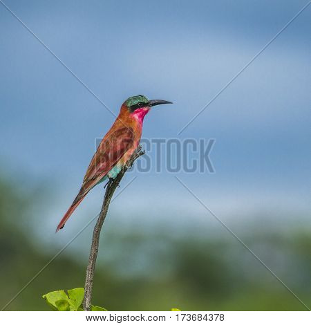carmine bee eater on a branch in Kruger Park, South Africa