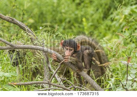 baby chacma baboon playing in the bush in Kruger park, South Africa