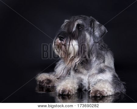 schnauzer, salt and pepper schnauzer dog posing