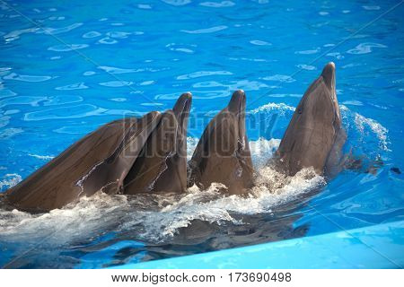 Four dolphins close up. Thailand. Phuket.