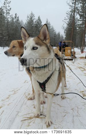 ROVANIEMI, FINLAND - FEBRUARY 19, 2017: Alaskan husky at Musher Camp in Finnish Lapland capital Rovaniemi. It is the capital of Lapland, in northern Finland and the