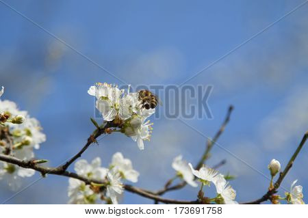 A bee on a wild cherry flowers sunlit against blue sky springtime