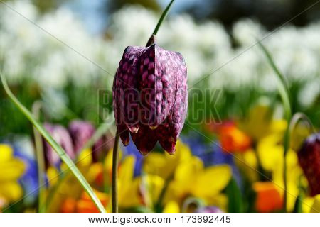 Snake´s Head,Fritillaria meleagris blooming in Keukenhof, Netherlands