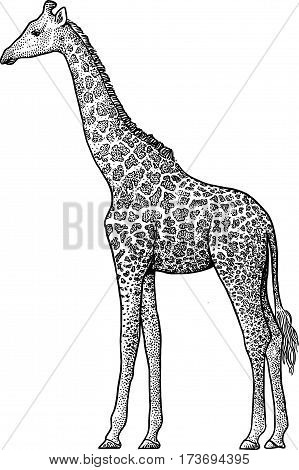 GIraffe  illustration, drawing, engraving, ink, line art