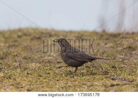 Female (common) blackbird (Turdus merula) standing in meadow