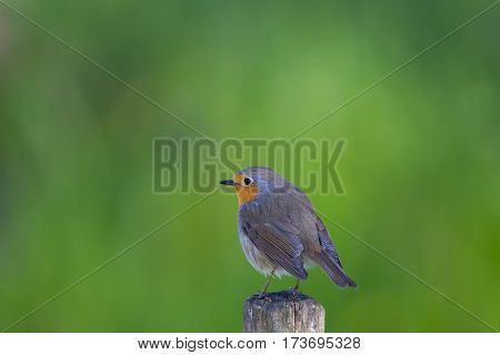 Isolated natural European robin (Erithacus rubecula) standing