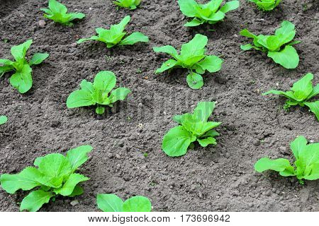 Green cabbage sprouts on the vegetable beds