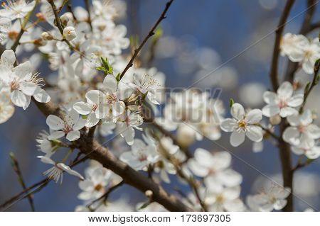 Wild cherry blossom sunlit against blue sky