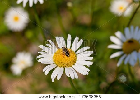 drinking nectar bee sits on a white daisy in the spring quiet day on the meadow closeup background Natures