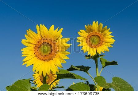 Close up sunflowers and blue sky in the morning