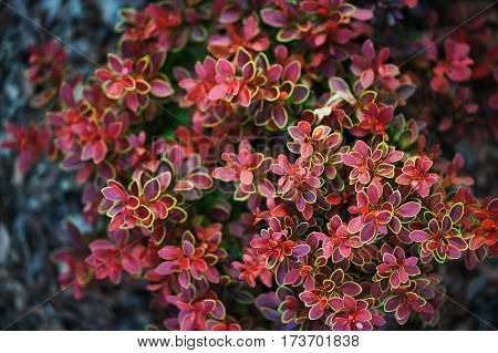 berberis thunbergii Admiration close up in summer garden poster