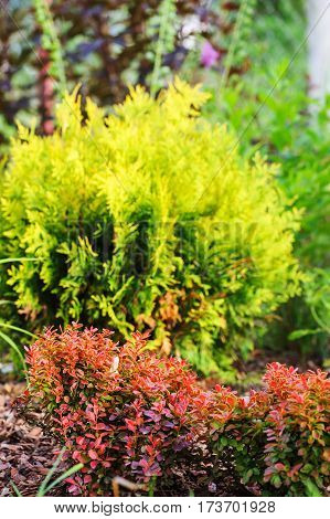 berberis thunbergii Admiration combination with Thuja occidentalis Golden Globe in summer garden poster