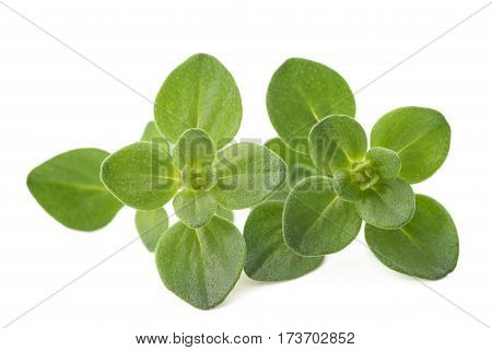 Thyme sprig isolated on a white background