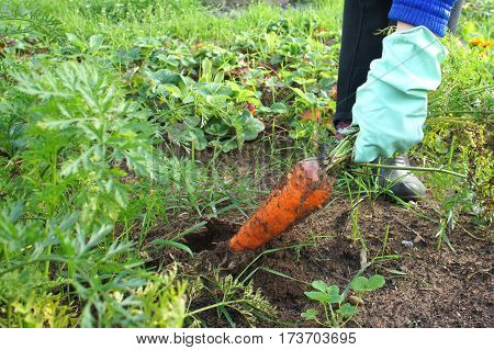 Female hands in gloves pulls a large carrot. The theme of gardening.