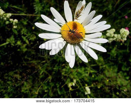 Brown beetle sitting on a camomile. Summer life picture.