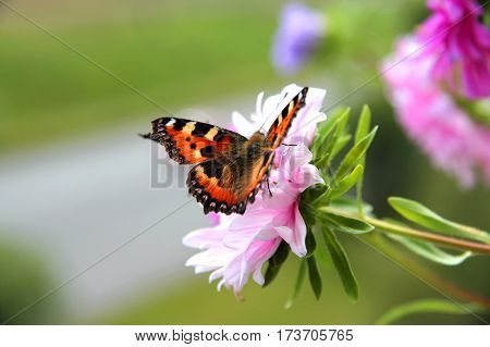 Beautiful butterfly urticaria on a pink Aster flower