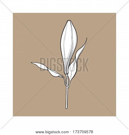 Single hand drawn white lily flower bud with stem and leaves, side view, sketch vector illustration isolated on brown background. Realistic hand drawing of closed white lily, bud, wedding flower