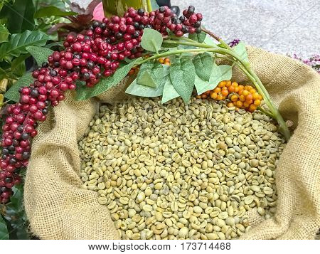 Green coffee beans in coffee bag made from burlap