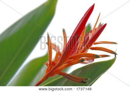 Flower From Surinam
