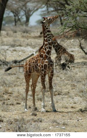 Young giraffe in a national park eating from a tree poster
