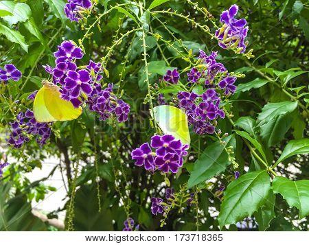 Yellow Butterfly nectar in a purple flower.