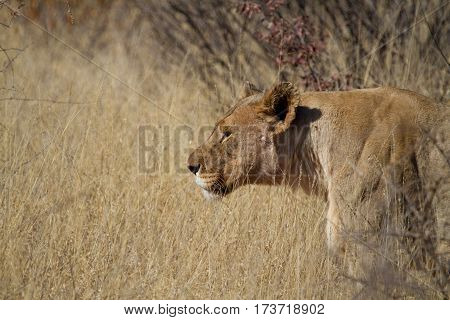 Lion on the prowl, Madikwe Game Reserve