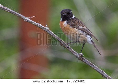 Single male Stonechat perched on a bramble