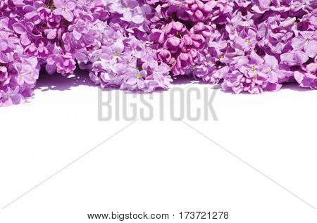 lilac flower isolated on white background
