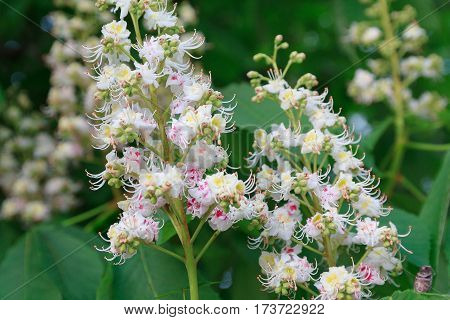 Bunch of white flowers of the horse-chestnut tree. Nature