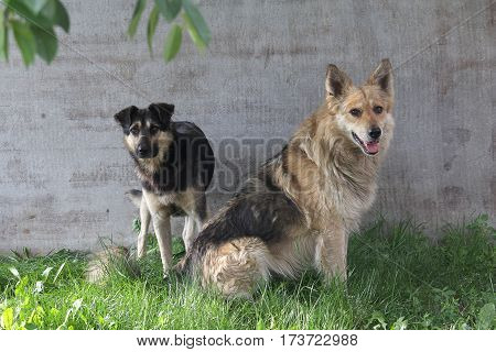 Two stray dog sitting on the lawn. animals
