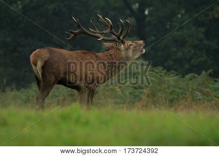 Red Deer Stag at Dusk in Bushy Park