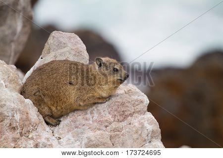 A Rock Hydrax (also known as a Dassie)