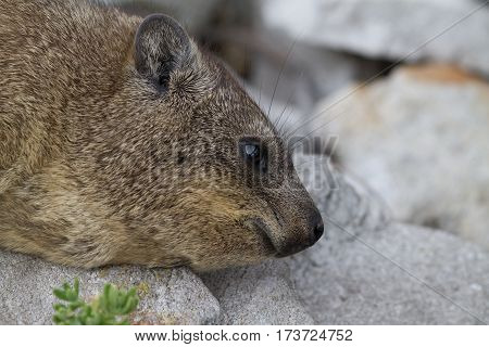 A Rock Hydrax, otherwise known as a Dassie