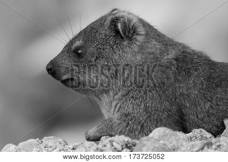 A Dassie (Otherwise known as a Rock Hydrax)