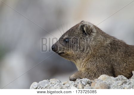 Dassie (otherwise known as a Rock Hydrax or Rock Rabbit)